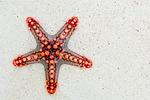 rozgwiazda, morze, czerwony