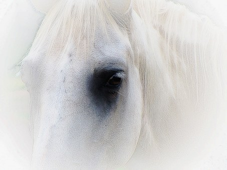 Horse Face Portrait Eyes Head Mane Ho