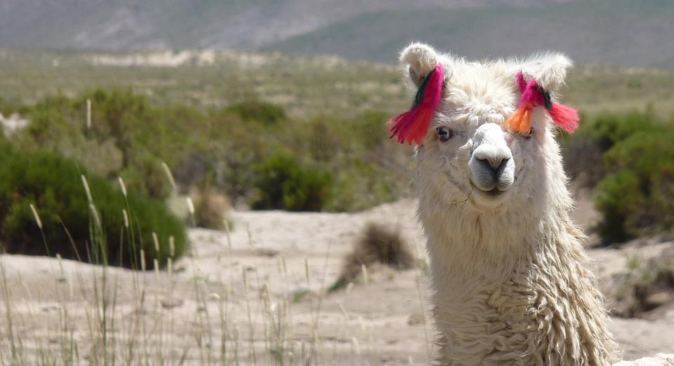 Free photo: Llama Glama, Camelid, Funny, Animal - Free ... No Spitting Sign Vector