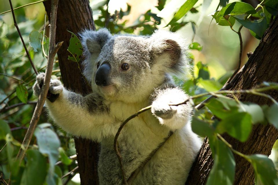 koala ours de photo gratuite sur pixabay. Black Bedroom Furniture Sets. Home Design Ideas