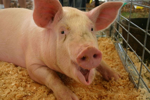 pigs use of language in animal farm Squealer is a clever, articulate pig, who spreads propaganda in support of  napoleon's tyrannical agenda and is said to have the unique ability to turn black  into.