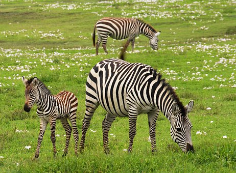 Baby Zebra, Safari, Serengeti, Tanzania