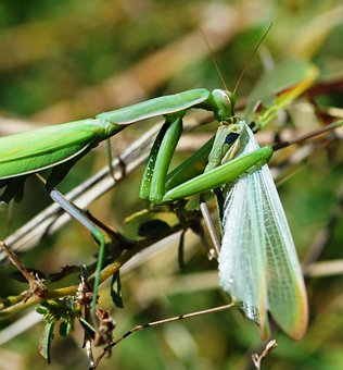 Mantis, Green, Insect, Abruzzo, Wildlife