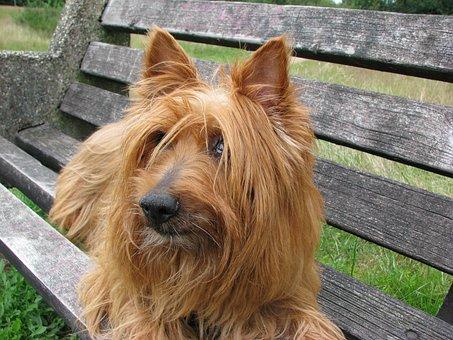 Australian Terrier, Dog, Terrier, Canine