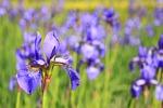 kwiat, iris, dziki kwiat