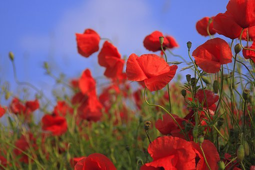 Meadow, Poppy, Poppies, Bloom, Red
