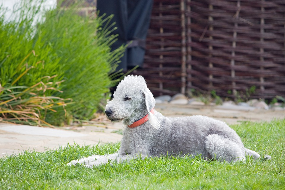 Bedlington Terrier, Dog, Canine, Animal, Pet, Breed