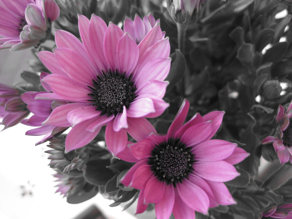 Flower flowers nature black and free photo on pixabay flower flowers nature black and white photo pink mightylinksfo