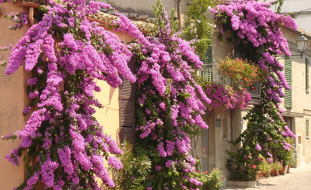 Free Photo Bougainvillea Italy Flowers Atri Free