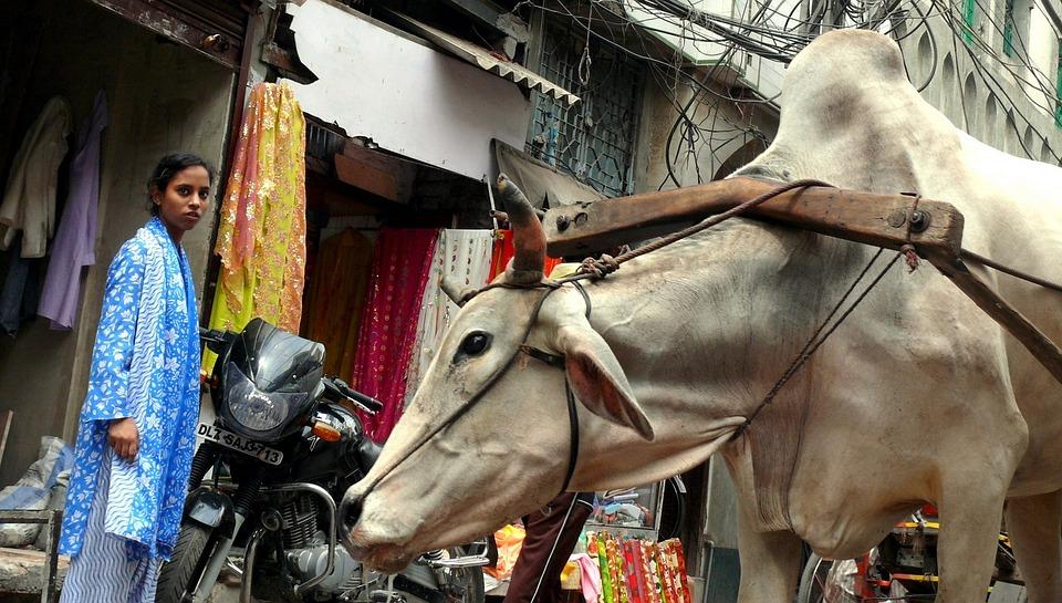 Krowa, New Delhi, Indie, Praca, Ciężar, Zmęczenie, Wóz