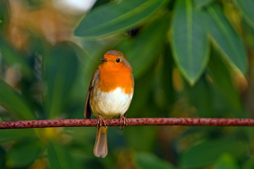 red robin images pixabay download free pictures