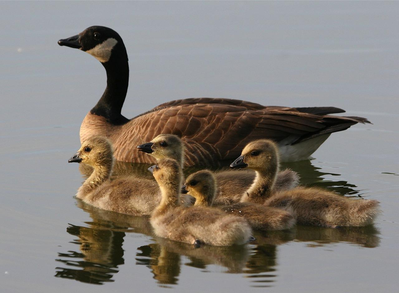 停泊,阿拉斯加州,鸭子,鹅,野生动物,湖,水,小鸭,游泳,自然,目睹