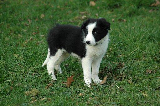 Dog, Puppy, Border Collie, Prairie