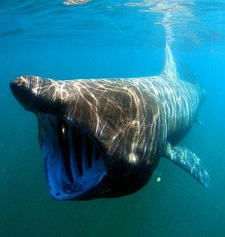 海, 水, 水中, 水泳, ウバザメ, マクロ, クローズ アップ, 自然