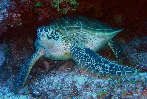 Green Sea Turtle Sea Ocean Water Underwate