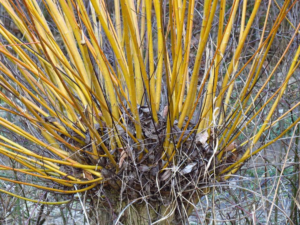 Weide Baum Pflanze Kostenloses Foto Auf Pixabay