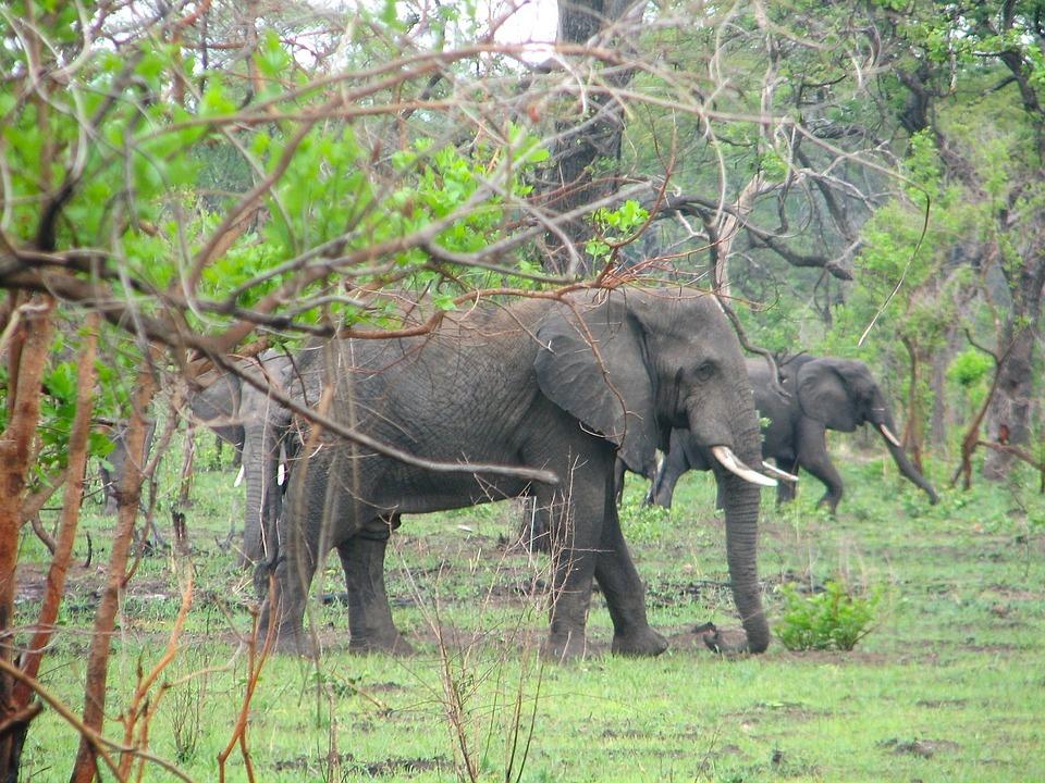Malawi, Afrique, Paysage, Les Éléphants, La Faune, Bush