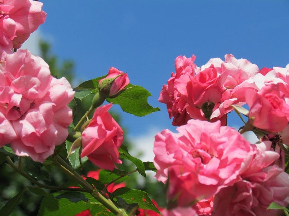 Rose Pink Flower Garden Flora