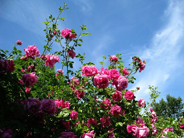 roses pink sky blue 183 free photo on pixabay