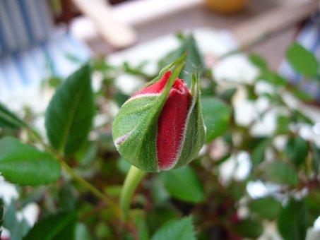 Роуз, Красный, Цветок Пущет Ростки, Грин