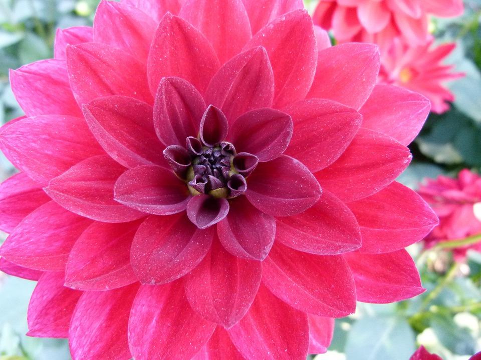 dahlia kukka
