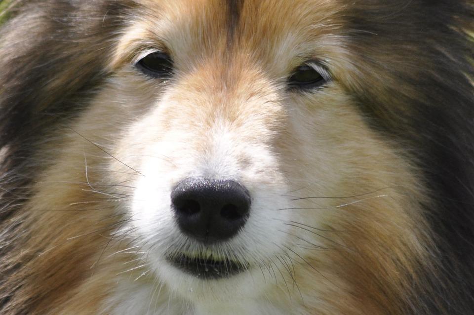 Fantastic Icelandic Sheepdog Canine Adorable Dog - dog-82676_960_720  Photograph_508075  .jpg
