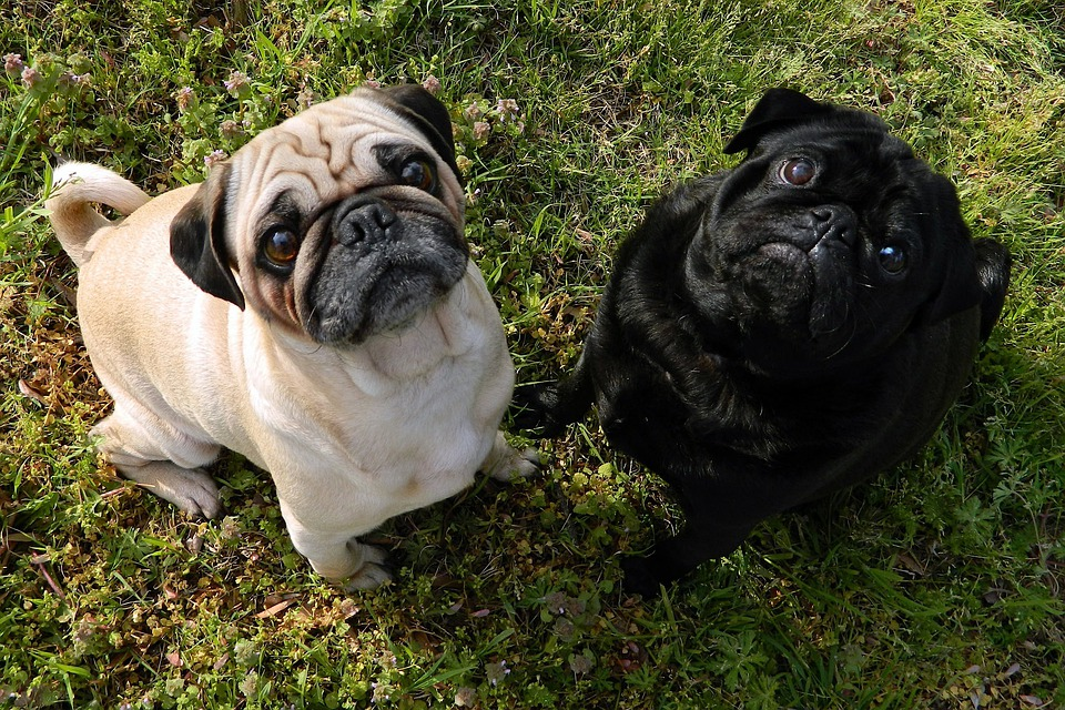 Dogs, Pugs, Cute, Together, Nature, Outside, Pet, Pets