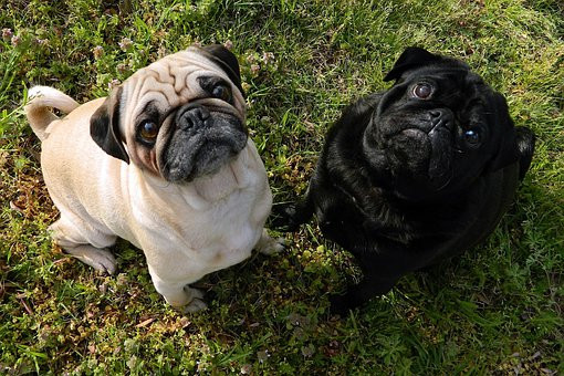 Dogs, Pugs, Cute, Together, Nature