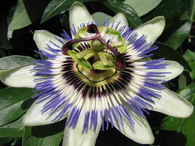 passion kukka flora ilmainen valokuva pixabayssa. Black Bedroom Furniture Sets. Home Design Ideas