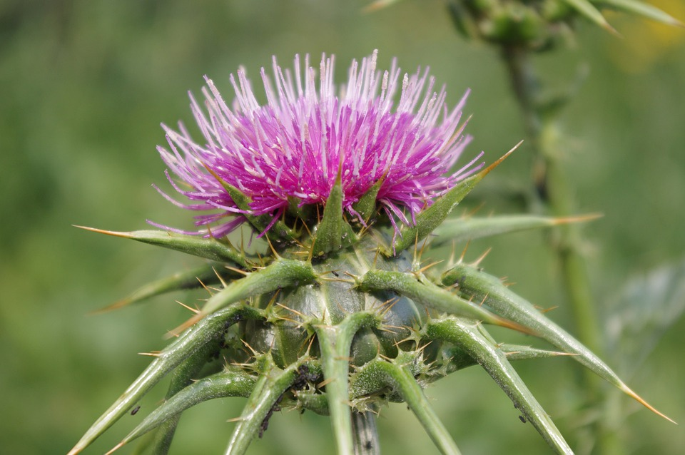 Purple, Thistle, Spina, Natura, Disagi
