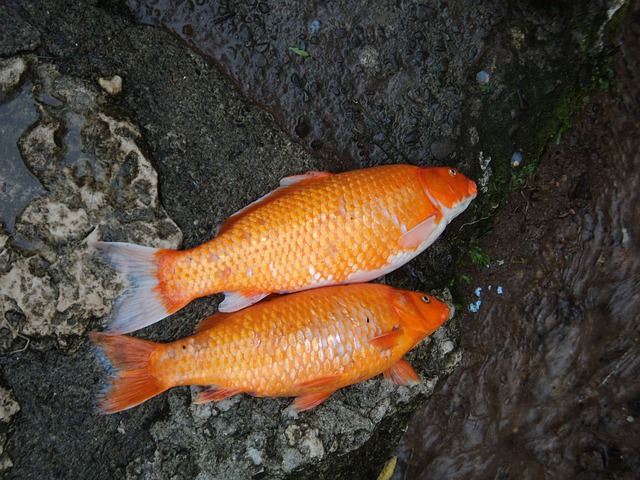 Free photo fishes koi dead garden free image on for Ornamental pond fish golden