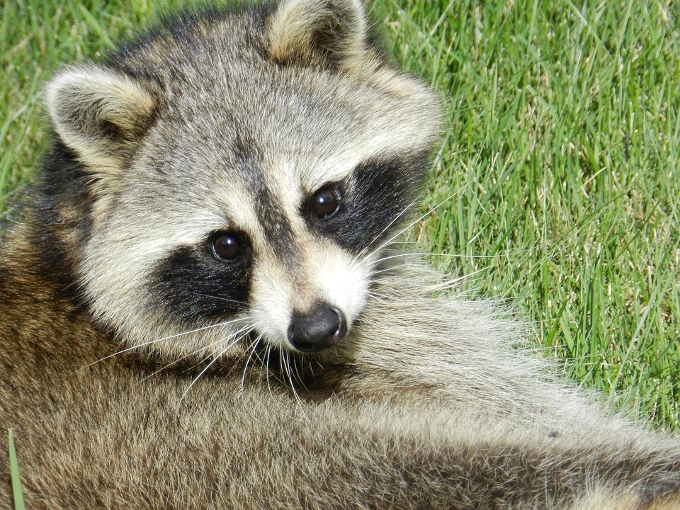 Raccoon Animal Cute · Free photo on Pixabay Raccoon Face