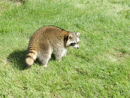 Raccoon, Animal, Procyon Lotor, Nature