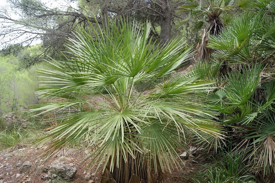 Palme, Pflanze, Exotisch, Fächerpalme, Grün, Baum