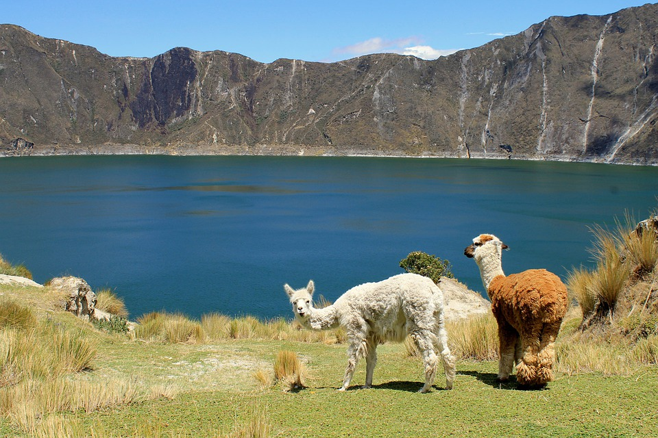 Lamas, Des Animaux, Mammifères, Andes, Laine, Sud