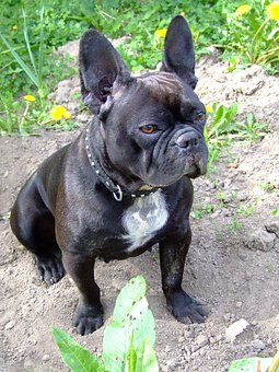 French Bulldog Images Pixabay Download Free Pictures