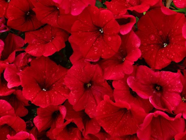 Free photo: Red, Petunias, Rain, Flower, Nature - Free