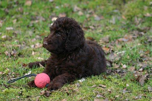 Labradoodle, Hond, Race, Huisdier