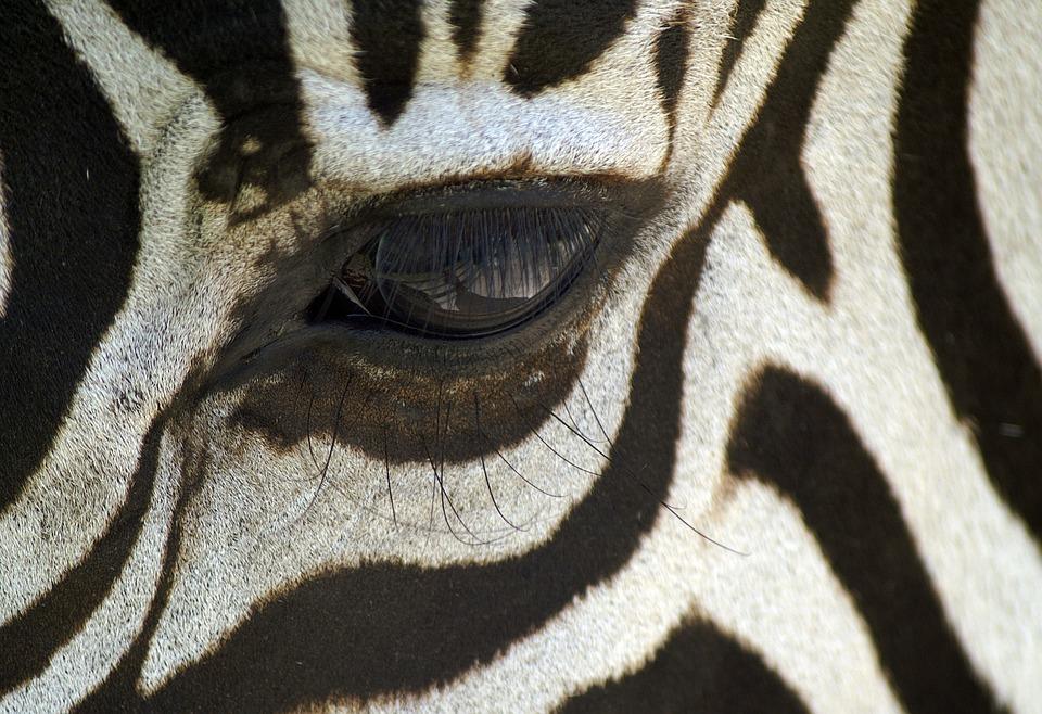 Zebra, Oko, Rzęsy, Makro, Czarno Biały, Paski Zebry