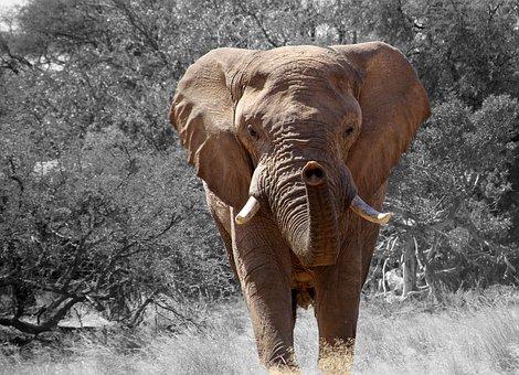 象, ナミビア, アフリカ, アフリカのブッシュゾウ, アフリカのサバンナの象