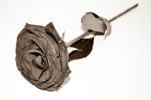 Dead Roses End Sadness Flowers
