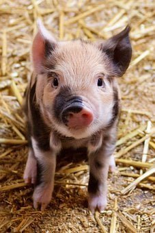 Agriculture Animal Baby Cute Domestic Farm
