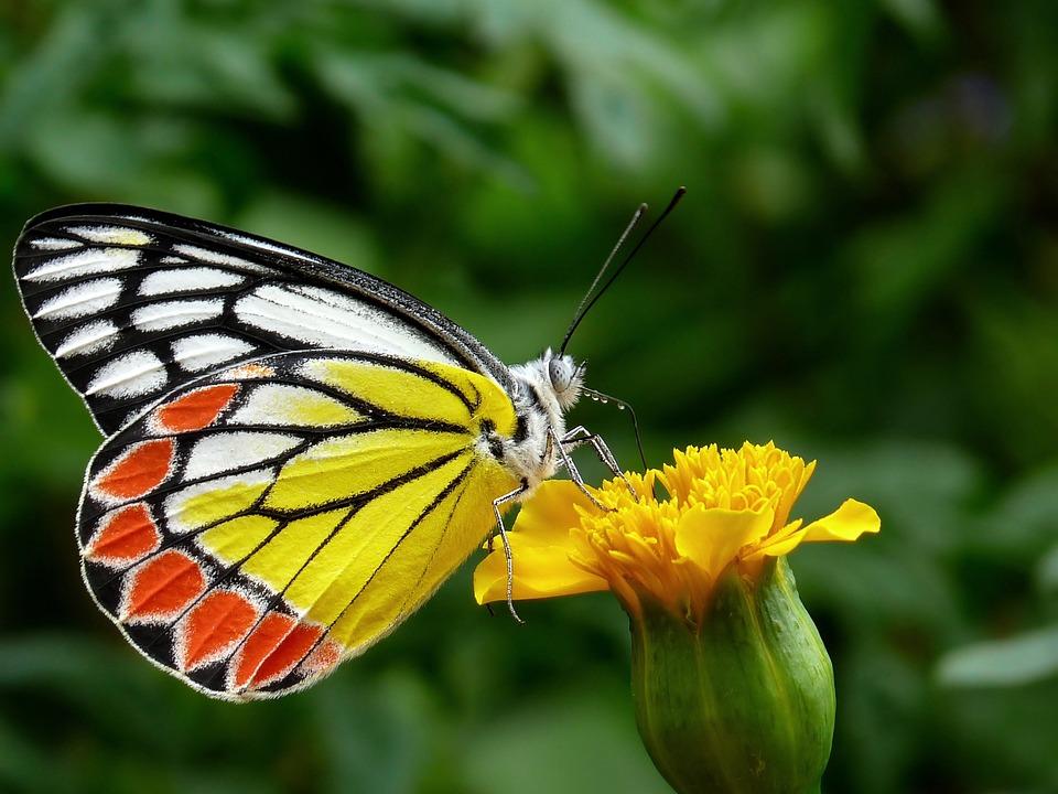 Mariposa, Común Jezebel, Flor, Verdor, Flora, Bloom