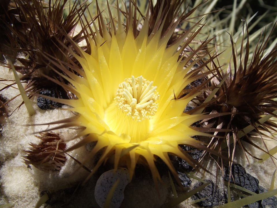 Эхинокактус цветок