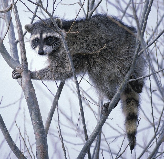Free photo Raccoon Oregon Tree