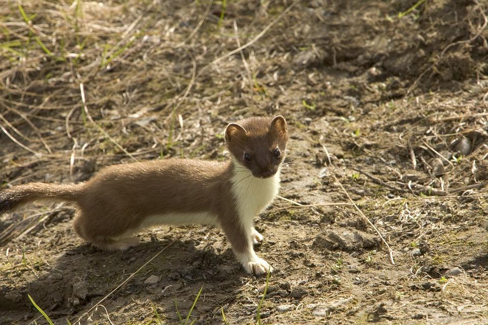 短期オコジョ, 動物, イタチ, 齧歯類, 野生動物, 自然, 外, かわいい
