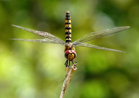 Greater Crimson Glider, Dragonfly