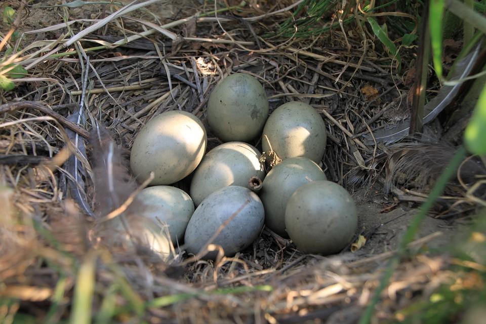agerhøne æg