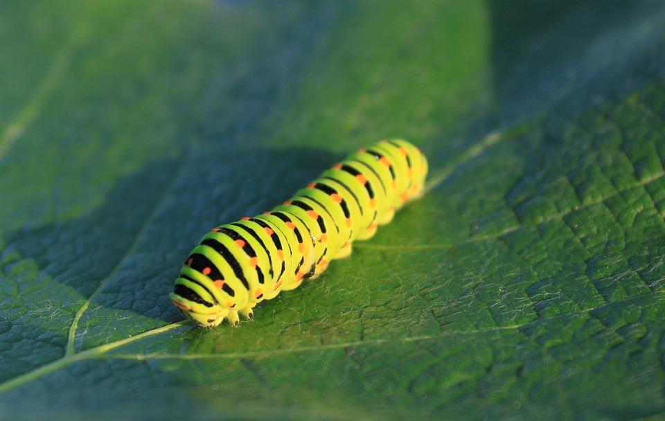 無料の写真: 毛虫, 緑, 葉, 鱗翅目, アゲハチョウ科, アゲハチョウ, 昆虫 - Pixabayの無料画像 ...