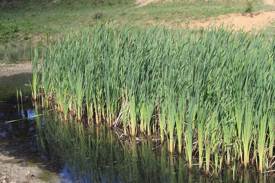 Bulrushes green invasive free photo on pixabay for Pond grass plants
